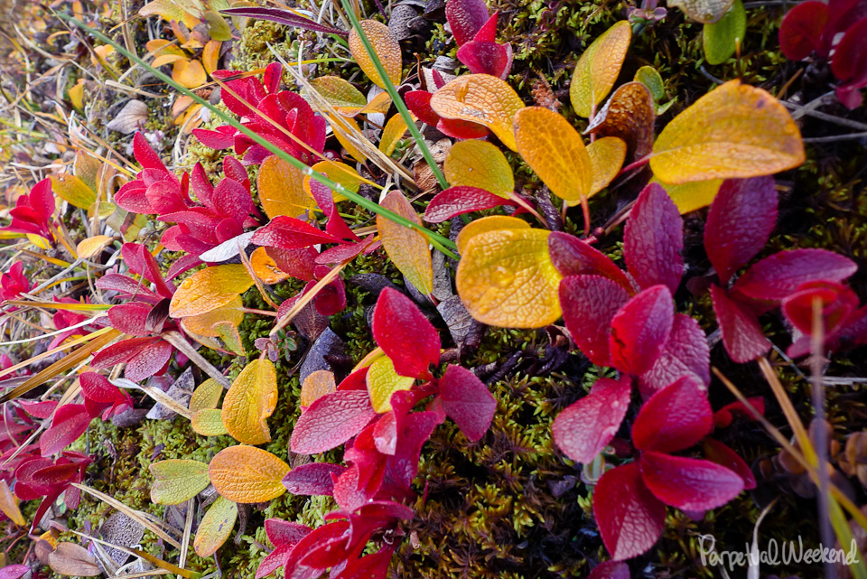 fall alpine colors, red, yellow leaves, tundra, alaska