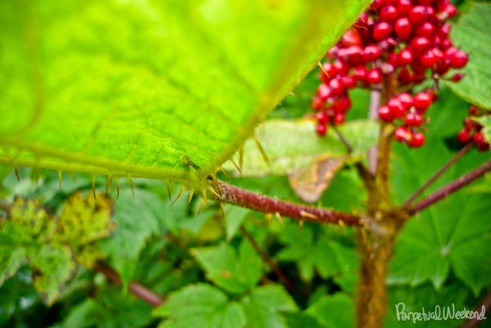 devil's club plant, alaska, thorn, hiking