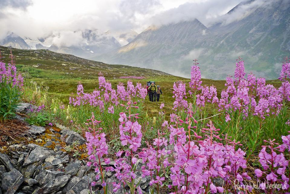 Fireweed backpacking in Alaska