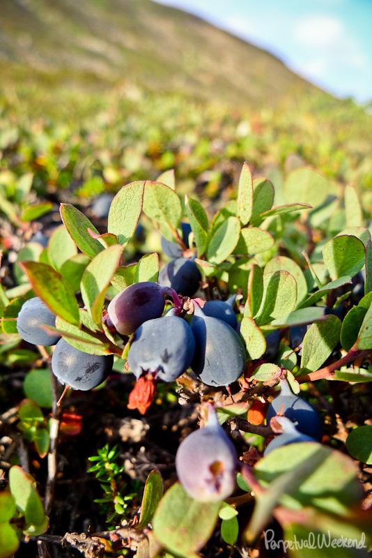wild blueberries, huckleberries in alaska