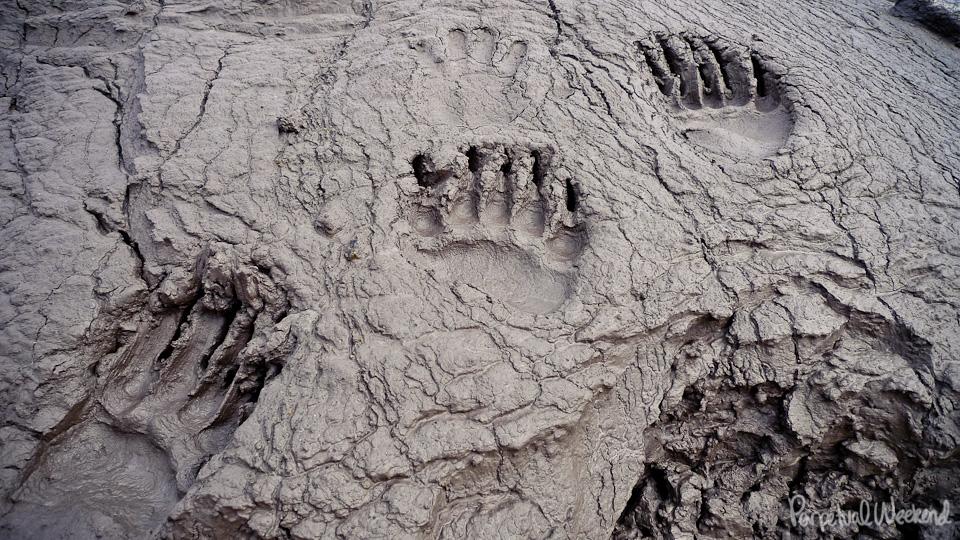 bear prints, bear tracks in mud, alaska