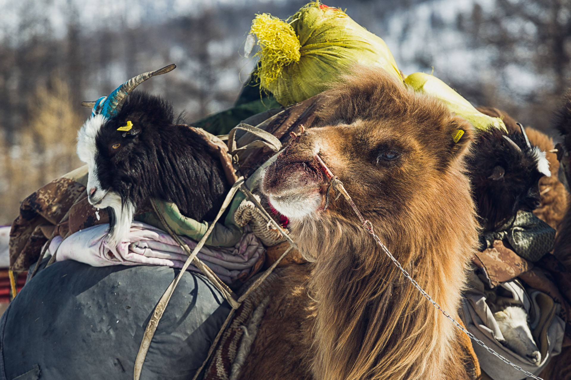 A Bactrian camel carries goats on a mutli-day migration to the Darhad valley. It carries cashmere goats along with blankets and other belonging. The camels are enchained from one's load to the next's septum. This one appears to have suffered an injury from the enchainment.